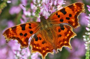 Comma - Wallflower