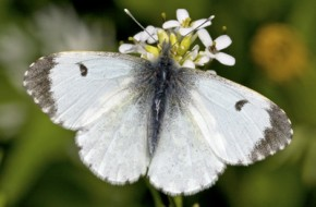 Orange-Tip---Marjoram