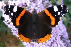Red-Admiral---Buddleia