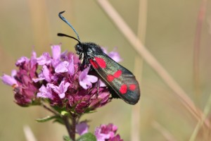 Day-flying moth: Six-spot burnet